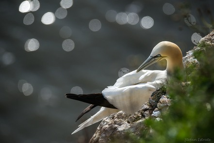 Gannets of Yorkshire