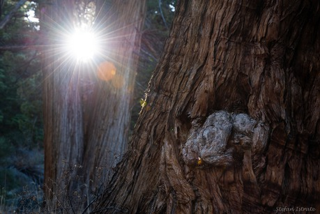 Sunny Redwoods